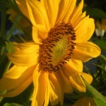 sunflower-garden-mom-got-blog