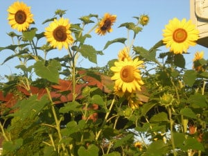 sunflowers-organized-mom-got-blog