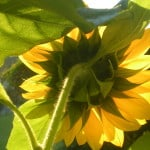 sunflower-morning-momgotblog.com