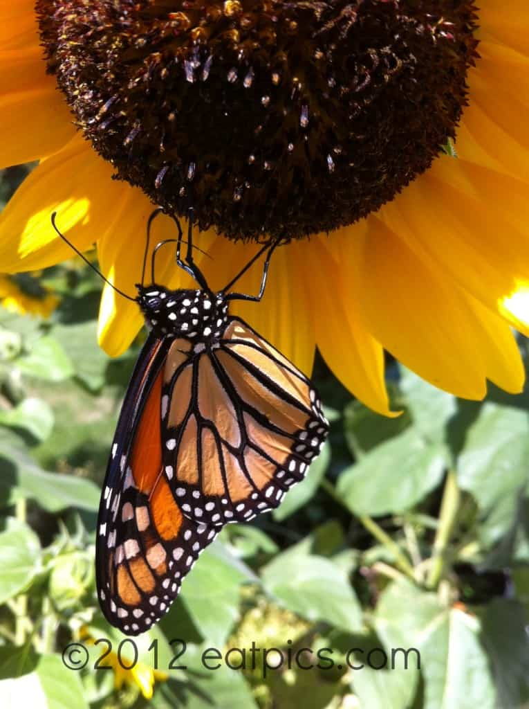 Butterfly-sunflower-eatpicks.com 026