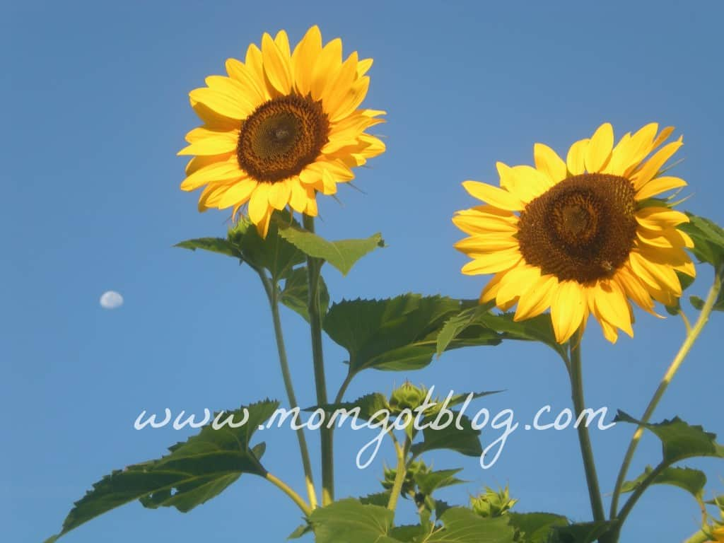 sunflower-moon-momgotblog.com-2012