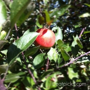 apple picking for pies