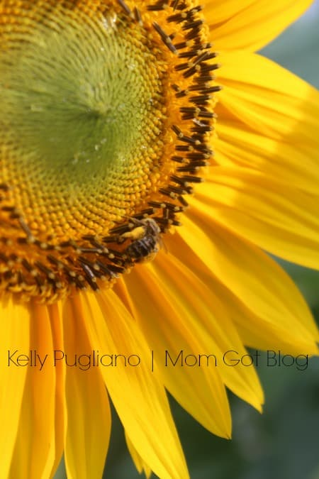 sunflower-kelly-pugliano-mom-got-blog