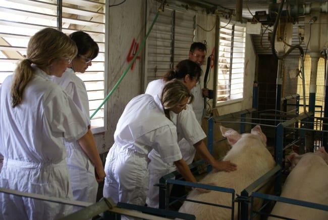 Petting sow at farm