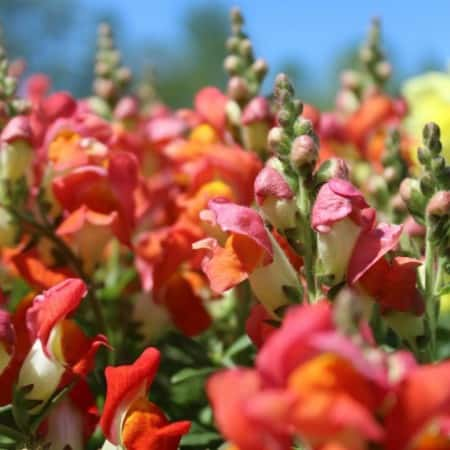 snapdragon flowers with blue sky